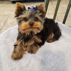 Yorkie Dogs For Sale, Yorkie Puppies For Adoption, Yorkie Poo Puppies, Toy Yorkie, Teacup Yorkie For Sale, Cute Baby Puppies, Yorkie Cut, Baby Exotic Animals, Baby Animals