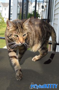 Manna is on the prowl! This cat loves her sun puddles.