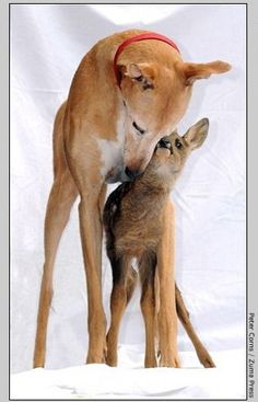 Greyhound adopts fawn