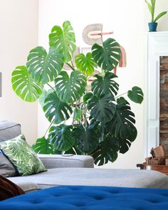 Number One Decorating Tip:Certain plants are statement pieces just by themselves and can serve as anchors for the rest of my decor decisions. MyMonstera deliciosatakes up a whole corner of my living room, but it works because it has a high ceiling and big windows to keep it happy.