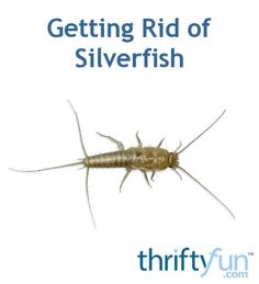 This is a guide about getting rid of silverfish. Silverfish are a perennial problem in some regions. Once they get a foothold it can be very difficult to eliminate the infestation.