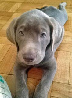 Begley the silver Labrador Retriever, who looks amazingly like a Weimaraner puppy.