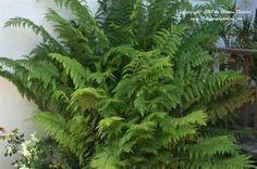 Woodwardia fimbriata