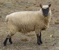 Clun Forest sheep have unusually springy fleece, making it easy to spin into soft, cushy yarn. This breed's wool is a favorite with handspinners everywhere. (Fiber artists involved in weaving and felting love it, too.) Photo courtesy Timberwood Farm