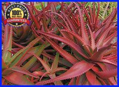 100+ Red Aloe Vera Seeds - ALOE CAMERONII- Herbal Succulent Plant Seeds