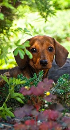 **Bokeh ~ Beautiful Dachshund
