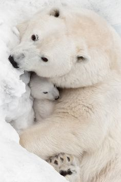 Baby bear and cuddles baby animals polar bears Animals And Pets, Funny Animals, Cute Animals, Wild Animals, Beautiful Creatures, Animals Beautiful, Baby Polar Bears, Polar Cub, Tier Fotos
