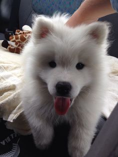 Samoyed puppy Loki| cute puppies and dog training tips by KaufmannsPuppyTraining.com