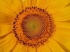 Sunflower... home grown.