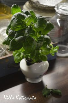 Vanha kermakko ruukkuna basilikalle. / Old creamer as a pot for basil.