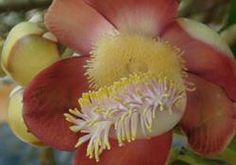 Cannon Ball flower essence - fiore Himalayano  Per superare la frigidità femminile causata da profonde paure mentali relative all'espressione sessuale (che costruiscono nella mente negatività verso il sesso). Usata nella terapia sessuale per le donne quando un forte desiderio di concepire è bloccato da frigidità inspiegabile.