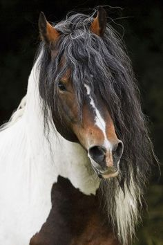 Beautiful horse with Paint coloring, long beautiful mane looks like Gypsy Vanner.