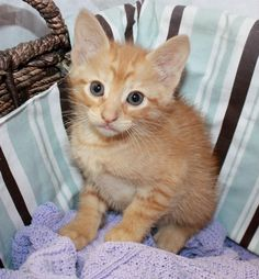Animal #: 367746  Name: TBD  Sex: Female  Age:Approx 6 weeks  Domestic Short Hair  Orange Tabby    Found at 4516 CR 894 in Princeton