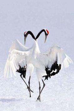 "RT ""@dudu_amorim: @CUMALi_YILDIZ "" TANCHO Cranes' Couple Dance;Japanese Registered 'Special Natural Monuments'"