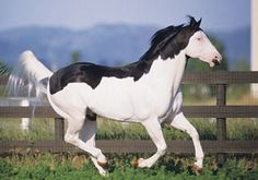The most unusual horse markings, you won't believe the last . American Paint Horse, American Quarter Horse, Painted Horses, Most Beautiful Animals, Beautiful Horses, Paint Horse Americano, Horse Markings, Majestic Horse, All The Pretty Horses