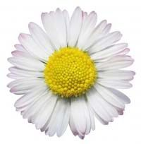 Flowers For > Yellow Daisy Flower Drawing Daisy Flower Pictures, Daisy Flower Drawing, Yellow Daisy Flower, Flower Images, Feng Shui Garden Design, Feng Shui Plants, Ted Talks, Gerbera, Bloom