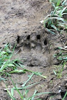 Black bear tracks and signs aren't always easy to recognize. These photos will help you identify a black bear's tracks and signs. Animal Tracks, Black Bear, Wildlife, Survival, Outdoors, Camping, Science, Animals, Health