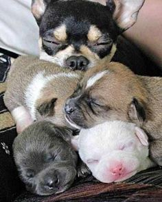 Mama Chi with her puppies