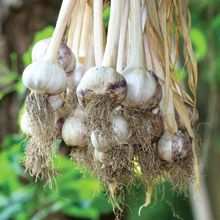 We had garlic all year long! Dad kept garlic hanging in the basement and it lasted all winter!
