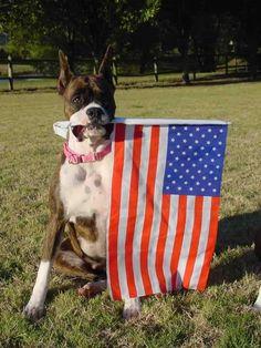 Virginia Boxer Rescue and Adoption photo: boxer holding flag