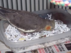 Parrot Enrichment Blog: Creating Foraging Opportunities - Part 1 - Getting Started. Teaching a cockatiel to forage through shredded paper to get to pellets and seed.