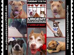 """7/5 Please Share! SUPER URGENT tap picture  BEAUTIFUL LIVES OF DOGS TO SAVE 7/5TO BE DESTROYED STARTING 12NOON PLEASE SAVE US WE ONLY HAVE A FEW MINS / HOURS TO LIVE BEFORE WE GO TO DOGGY HEAVEN THANK YOU PLEASE REPIN AND SHARE THIS INFORMATION  TIME IS CRITICAL THANK YOU IRISH : . Please share! The shelter closes at 8pm. Go to the ACC website( ASAP to adopt a PUBLIC LIST dog (noted with a """"P"""" on their profile) and/or work with a rescue group if you can adopt/foster ANY of our dogs on the…"""