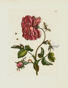"Antique botanical engraving of a rose. ""Rosa Multiplex"" by Maria Sibilla Merian, 1713. The finely detailed & richly hand colored copper engravings portray butterflies & insects along with the fruits and flowers on which they lived."