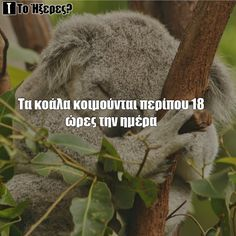 Koalas Did You Know, Blog, Koalas, Blogging