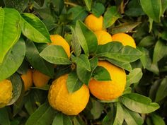 7 Steps To Growing Citrus Indoors . No Matter Where You Live - Off The Grid News Gardening Supplies, Gardening Tips, Raised Garden Bed Kits, Off The Grid News, Citrus Trees, Tree Care, Fruit Garden, Garden Seeds, Plantar