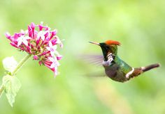 This is a Frilled Coquette (Lophornis magnificus) photo page of the Mangoverde World Bird Guide. Bird Guides, World Birds, Bird Species, Hummingbirds, Beautiful Birds, No Frills, Feathers, Animals, Animales
