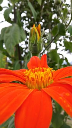 naranja. Compositae