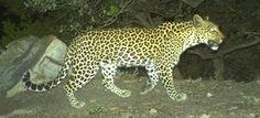 Leopard's Leap Leopards on La Motte Baboon, Leopards, Cape, Animals, Mantle, Animales, Cabo, Animaux, Animais