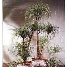 GUATEMALAN PONYTAIL PALM TREE