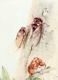 "The Cicada. Illustration by Edward J. Detmold from ""Fabre's Book of Insects"", 1921"