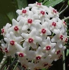 The fragrant Hoya or wax plant (Hoya carnosa). The sap given off by this flower is sweet and delicious!