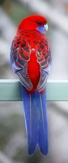 This parrot is a Australian Rosella. I cant see the front markings and colours to see what its other names are. They come in flocks to get a good feed at my house, easily trained they return if you feed them for several days.