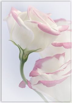 Lisianthus Blooms by Ian Wolfenden