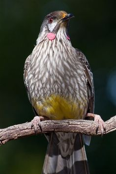 Wattle Bird my garden is full of these