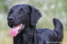 Flat Coated Retriever from Just Add Water Kennels