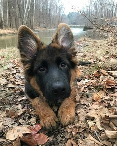 51 ideas for dogs breeds german shepherds gsd puppies Gsd Puppies, Cute Dogs And Puppies, Baby Dogs, I Love Dogs, Doggies, Gsd Dog, Cute Funny Animals, Cute Baby Animals, Sweet Dogs