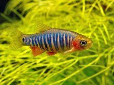 Aquarium Filters And Aquarium Supplies Tropical Fish Aquarium, Saltwater Aquarium, Planted Aquarium, Fish Ocean, Aquascaping, Tropical Freshwater Fish, Freshwater Aquarium Fish, Danio Fish, Exotic Fish