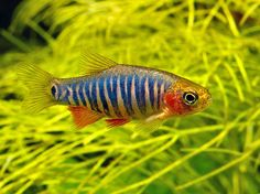 This species was formerly included in the genus Microrasbora although it's long-been considered a danionin by certain authors, e.g., Kottelat and Witte (1999) and was placed within the genus Danio for a period.  In the aquarium trade it's marketed under various names including 'emerald dwarf danio', 'thick band purple zebra danio' and 'cross-banded dwarf rasbora'.