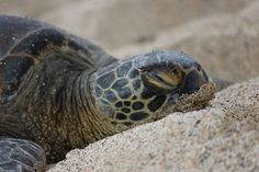Some people think that turtles might go in there shell for a nap, but the actually don't. All turtles sleep with there heads out of their shells.