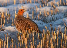 Because of its popularity as a gamebird in Europe, the Gray Partridge was brought to North America as early as the 1790s, although it was not really established here until later. It has been most successful on the northern prairies, where it often does very well in farm country. Gray Partridges live in flocks, or coveys, at most times of year. Even where they are common, they often go unseen as they forage in the tall grass.