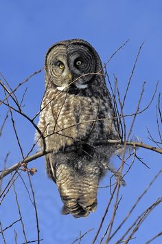 Great Gray Owl | Love the Boreal                                                                                                                                                                                 More