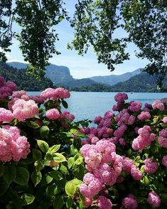 Dear Lake Bled marry me. And bring your mistresses hydrangea Flowers Nature, Exotic Flowers, Beautiful Flowers, Hortensia Hydrangea, Hydrangea Garden, Hydrangeas, Beautiful World, Beautiful Gardens, Nature Pictures