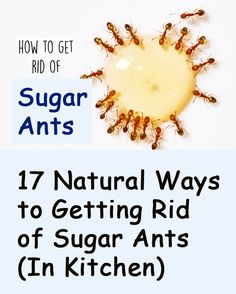 17 Natural Ways to Getting Rid of Sugar Ants (In House And Kitchen) Banish Them for Good Ant Remedies, Home Remedies For Ants, Kitchen Ants, Sugar Ants, Bug Spray Recipe, Ants In House, Get Rid Of Ants, Natural Pesticides, Organic Soil