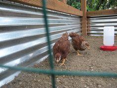 Predator proof chicken run