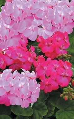 Geraniums ... Love it