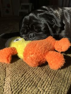 Doesn't every pug have an after lunch nap with their teddy